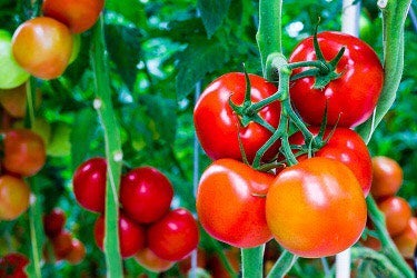 Unusual Ways to Use Tomatoes