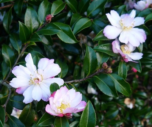 How I Feed Camellias With Great Success