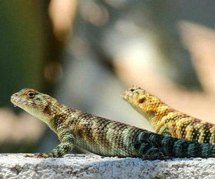 Build a Backyard Lizard Condo