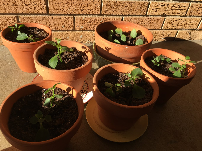 How to Grow Kalanchoe Plants