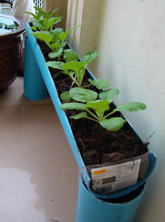 Growing Chinese Cabbages in PVC Pipe