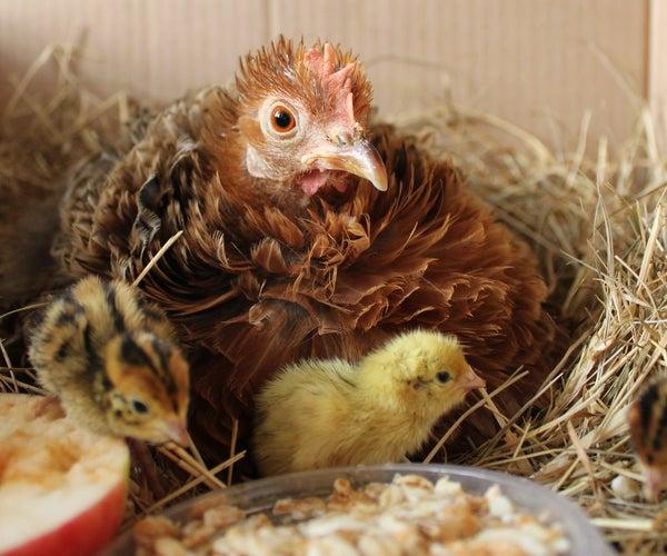 Raising Quail Organically With a Mother Hen - the Hatch. Nos Cailles Bio - L'éclosion. Codornices Orgánicos - Eclosión.