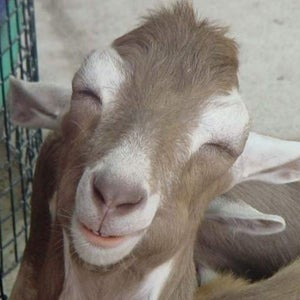833-photogenic-goat.jpg
