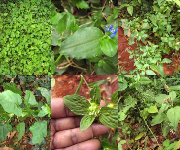 Live Off the Land : Survive With Edible Weeds