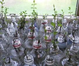 Pop Bottle Plant Propagator  (Growing Mint)