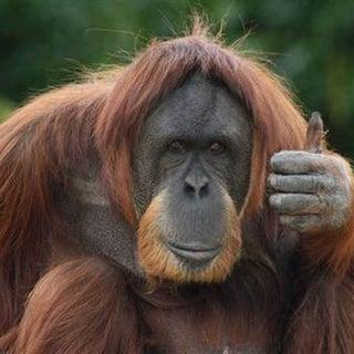 070802_orangutan_hmed_10a-rp600x350-1.jpg