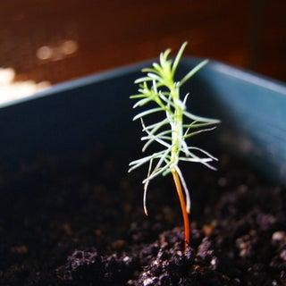 Grow Your Own Giant Sequoia Tree