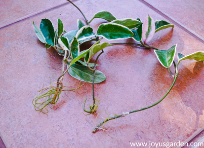 Repotting/Transplanting a Hoya Plant: