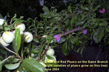 Example: Peach and Plum Grafts