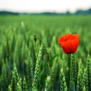 poppy-1600.jpg