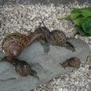 Keeping Pet Snails @ Home