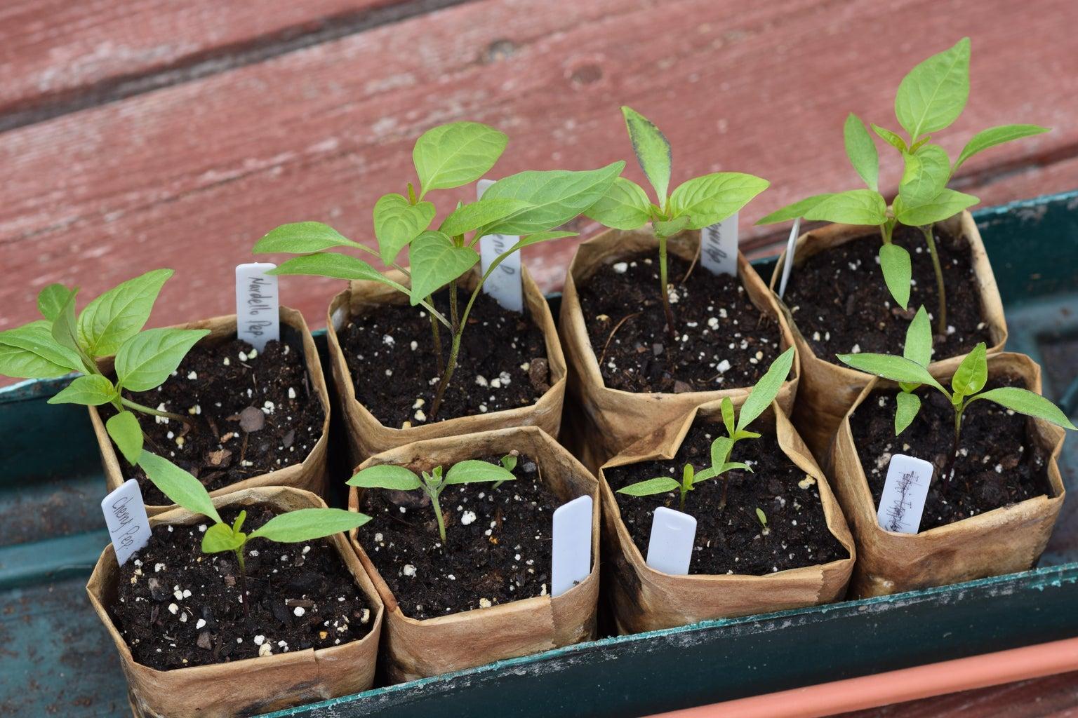 Harden Seedlings Before Planting
