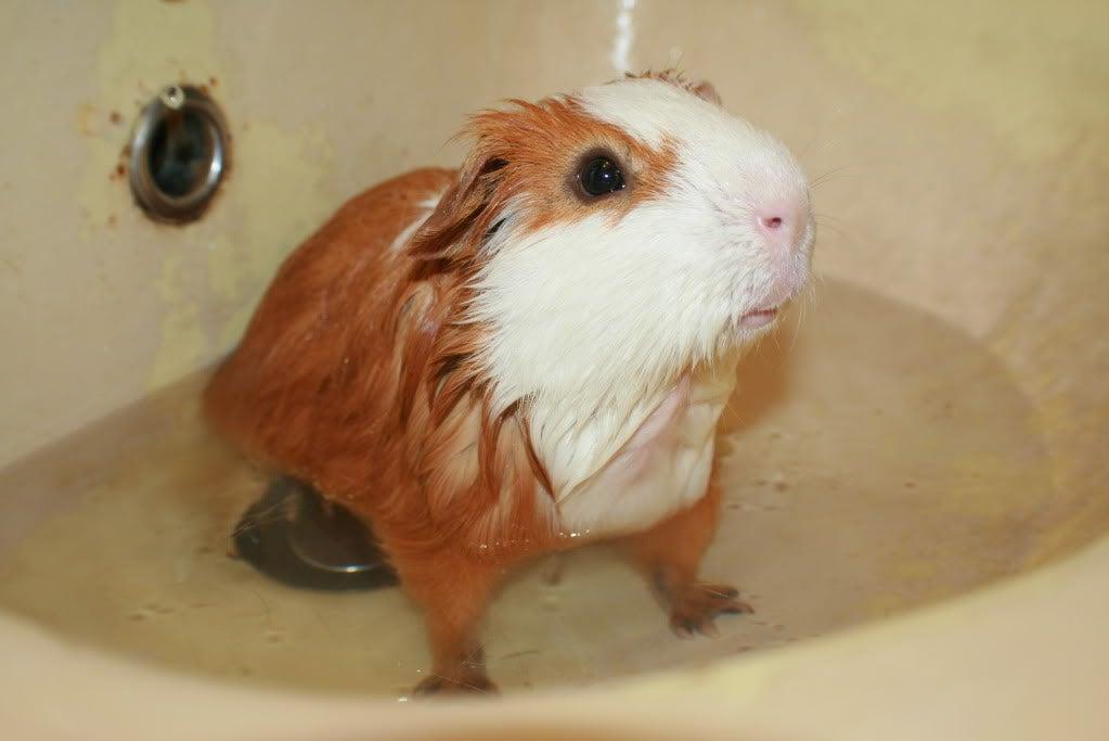 How To Bathe Guinea Pigs 4 Steps Instructables