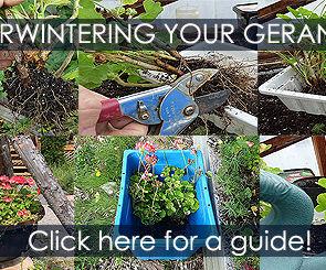Overwintering Geraniums as Houseplants