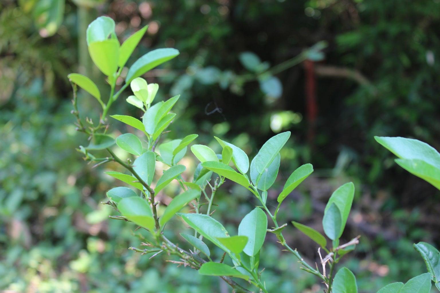 Nimbu ( Lemon ):