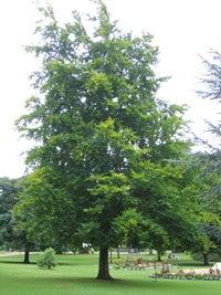 Identifying Beech Trees