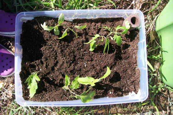 Growing Horizontal Tomatoes