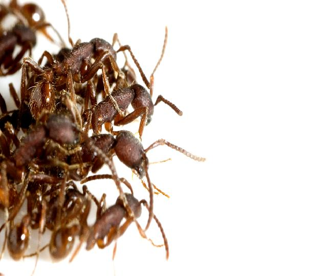 Collect ant colonies using army ants