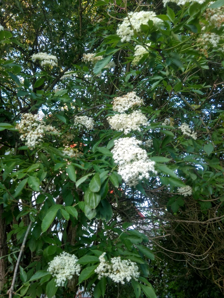 Pick Elderflower Blossoms