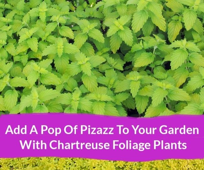 Add a Pop of Pizazz to Your Garden With Chartreuse Foliage Plants